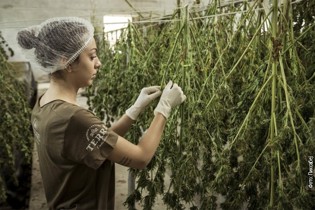 Navodno, smrtnost od opojnih droga je opala tamo gde je upotreba marihuane legalizovana