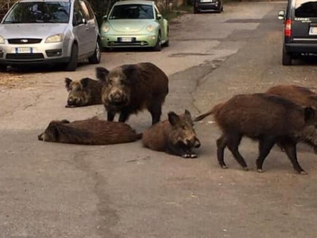 Divlje svinje opljačkale ženu u Rimu